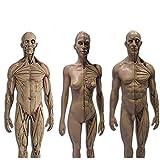 ティーチングスケルトンモデル、30CM人体スカルヘッドボディマッスルボーンレジンモデルスカルバストペインティングリファレンスニュートラルアート(3個)