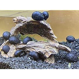 Anthrazit Napfschnecke - Stahlhelmschnecke 5 Stk - Topbilliger Tiere