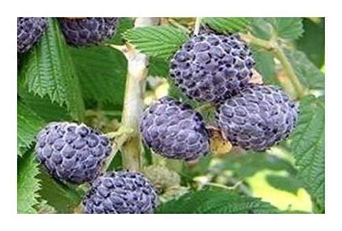 Rubus leucodermis - Framboise bleue - 10 graines
