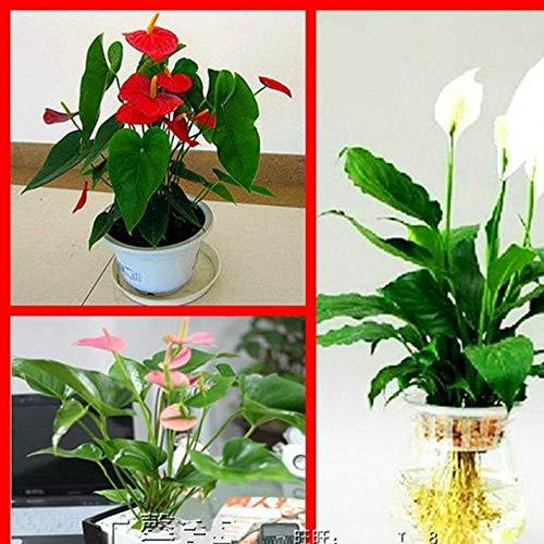 Shopmeeko 200 stücke Seltene Pink * Green Anthurium Bonsai Bonsai Blume Bonsai Balkon Pflanzen Blumen Töpfe Für Gartenhaus Spathiphyllum Semilla: Hellgrün