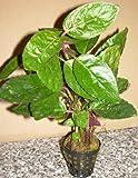 1 Topf Hemigraphis species, farbige Sumpfpflanze