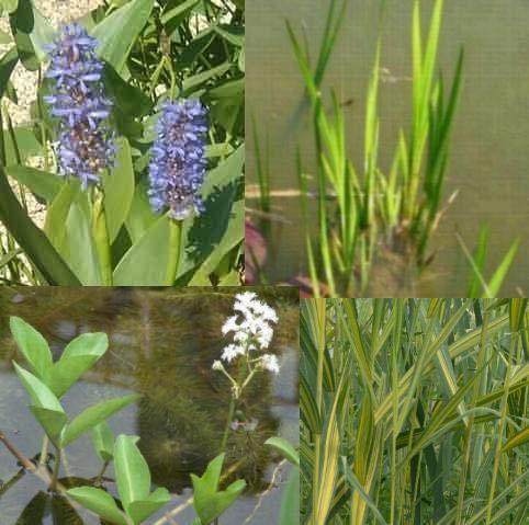 Teichpflanzen Komplettset -6- für den kleinen Teich mit Wasserschwaden, Kalmus, Fieberklee und Hechtkraut aus Naturteichen, tolle Ware, nie Wieder Algenprobleme