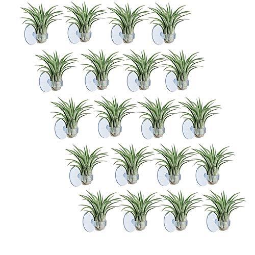 HLPIGF Soporte de Planta de Aire de 20 Piezas, Soporte de Planta de Maceta Tillandsia Soporte de Planta de Aire con Ventosa para Colgar (Plantas No Incluidas)