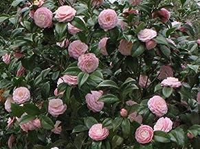 naksh Exotic Plants Camellia Japonica Pink Perfection - Japanese Camellia - 10 Seeds