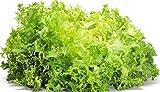 Green Curled Ruffec Endive Garden Seeds, 300 Heirloom Seeds Per Packet, Non GMO Seeds