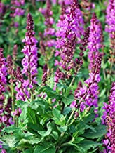 Perennial Farm Marketplace Salvia n. 'Rose Marvel' ((Meadow Sage) Perennial, Size-#1 Container, Pink Spikes