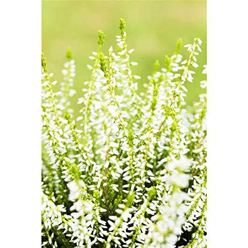 Calluna, Winterharte Knospenheide Erika Gardengirls® 'Sandy' grün-weiß - in Gärtnerqualität - 12 cm