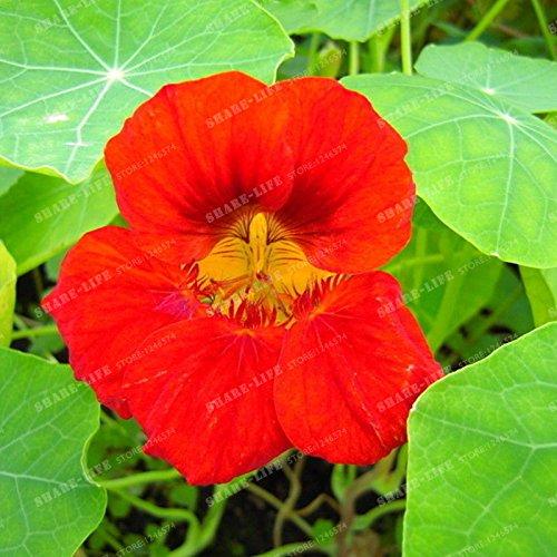 10 pièces Belle capucine Graine Creeper Tropaeolum Majus facile plantation Hanging graines de fleurs ornementales Bonsai New Plant Garden 3
