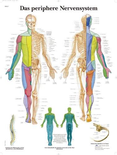 3B Scientific VR0621UU - Póster explicativo sobre el sistema nervioso periférico (en alemán Das periphere Nervensystem)
