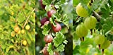 3 Mixed Gooseberry Plants - Red, Green and Yellow Bushes Ready to Fruit! 3fatpigs®