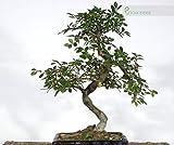 Zoom IMG-2 bonsai di olmo cinese vaso