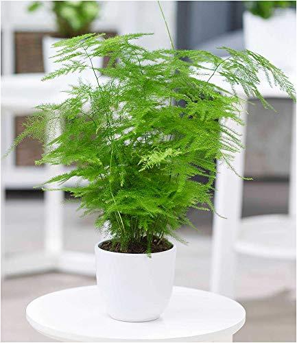 BALDUR Garten Asparagus Plumosa, 1 Pflanze Zierspargel Zimmerpflanze Zimmerpflanze