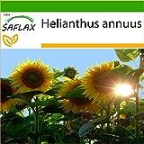 SAFLAX - Girasol Titan - 20 semillas - Con sustrato estéril para cultivo - Helianthus annuus