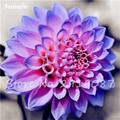 50 Pcs rares Graines Bonsai Dahlia (non Dahlia Bulbes) Mixte magnifique Fleurs chinois Balcon Plante en pot Maison et Jardin 8