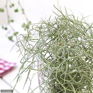 charm(チャーム) (観葉植物)エアープランツ ティランジア ウスネオイデス 太葉タイプ(1束分)