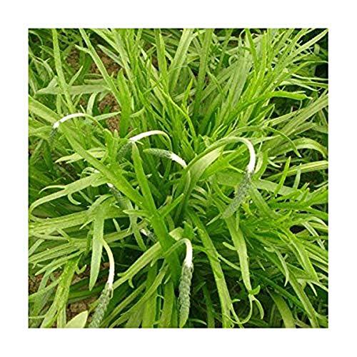 Hirschhornwegerich - Minutina - Erba Stella - Kapuzinerbart - 500 Samen