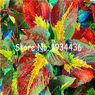 100pcs Rare Coleus Blumei Seeds,Rare Flower Seeds Potted Begonia Plants for Garden Balcony Coleus Seeds For Sale