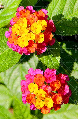 Shopvise 50Pcs Lantana camara cinco colores Hydrangea, perenne ornamental de semillas para jardín: 4