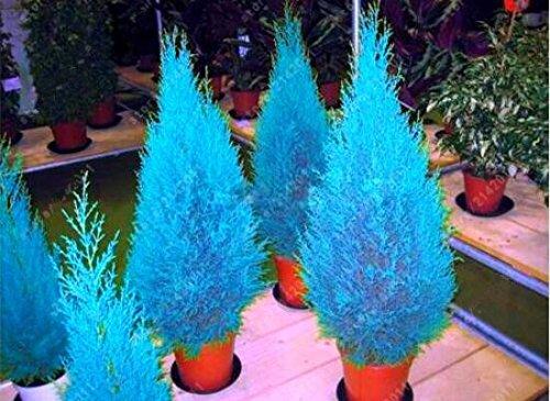 Hot 30 pcs/sac thuya thuya bleu graines de graines de conifères de cyprès bricolage jardin maison livraison gratuite