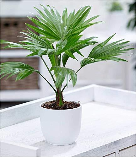BALDUR-Garten Palme'Livistona Rotundifolia', 1 Pflanze Zimmerpalme Fächerpalme Zimmerpflanzen