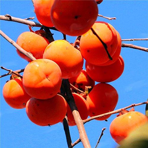 Desconocido Generic Semillas genÃricas del áRbol del Caqui Diospyros Kaki Semilla de la Fruta Home Garden Bonsai Plants-30 PC/Paquete