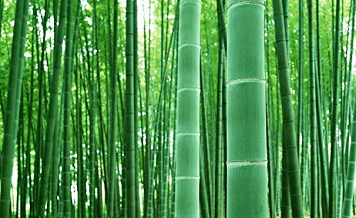 Giant Bamboo Seeds for Planting - 50+ Seeds - Grow Giant Bamboo, Privacy Screen, Good for Environment - Ships from Iowa
