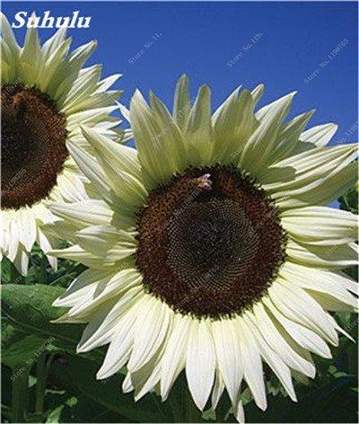 Nouveautés 40 Pcs Graines de tournesol bio mixte Helianthus annuus Graines d'ornement semences de fleurs de tournesol russe plante pour jardin 17
