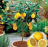 Adolenb Jardin- Mini graines de citronnier Citrons organiques Hardy vivace Bonsai citron graines de fruits comestibles plantes d'intérieur citron de fruits pour balcon, jardin