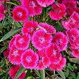Aimado Seeds Garden-50 graines Oeillets nains bicolores Alice fleurs graines fleurs odorantes Plantes vivaces pour balcons et terrasses