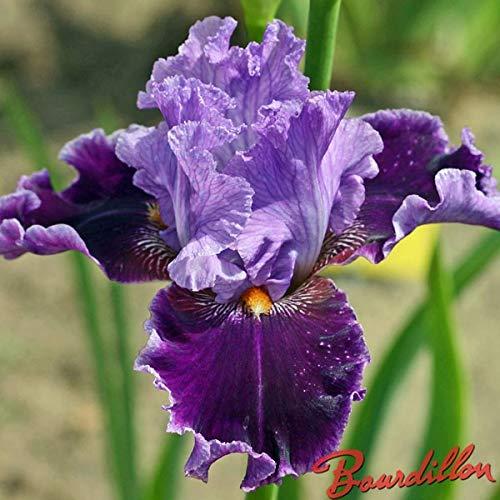 Keland Garten - Rarität 50pcs Iris germanica Deutsche Schwertlilie am Teichrand, Bart-Iris Blumensamen Mischung winterhart mehrjährig auf Balkon oder Terrasse
