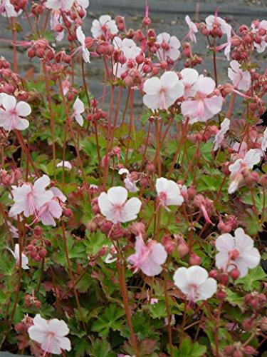 Geranium cantabrigiense Biokovo - Cambridge-Storchschnabel, 3 Pflanzen im 7/6 cm Topf