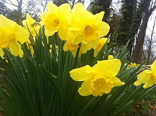 25 Wild Daffodil Flower Bulbs (Narcissus PSEUDONARCISSUS) for Planting