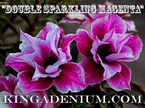 PLAT FIRM GRAINES DE GERMINATION: Adenium obesum Desert Rose\