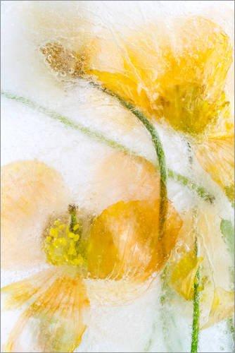 Póster 100 x 150 cm: Meconopsis Cambrica de Mandy Disher - impresión artística, Nuevo póster artístico