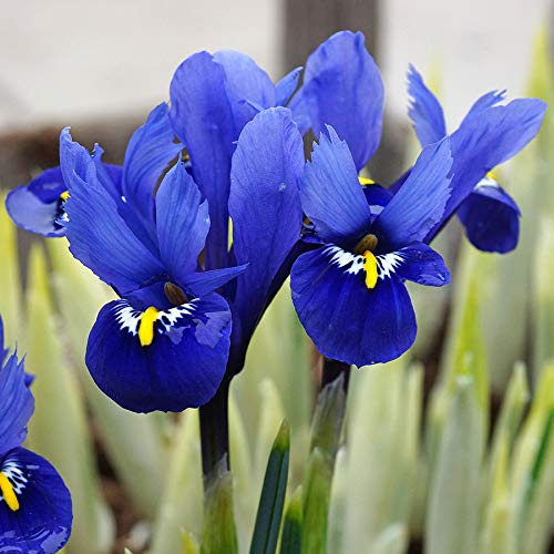 50 x Iris Reticulata Harmony Bulbs