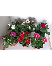 Vinca -Vincapervinca de Madagascar - Pack 6 Plantas -Vinca del Cabo- Vinca Rosa -Planta Ornamental- Planta Natural - Flores de Jardin 12cm ø - Vipar Garden 18