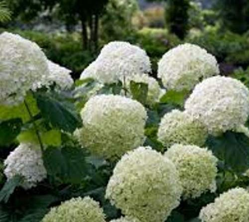 Ferry 3-Zoll-Pot: Incrediball Glatte Hydrangea arborescens - - 3-Zoll-Topf