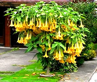 ANGEL'S TRUMPETS MIX 6 SEEDS Datura brugmansia Tropical woody shrub