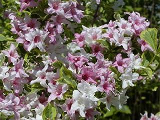 Variegated Weigela Bush - Multicolor Flowering Shrub - Live Plant Shipped 1 to 2 Feet Tall by DAS Farms (No California)