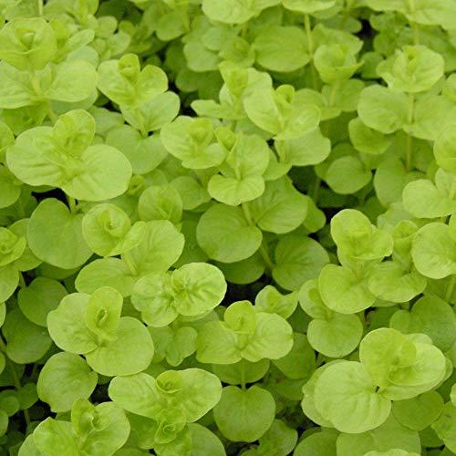 Pfennigkraut 4er Set, Winterhart - Inklusive Pflanzkorb Set - Teichkorb, Teichpflanzen Lehm, Wasserpflanzen dünger und Bedeckung Kies