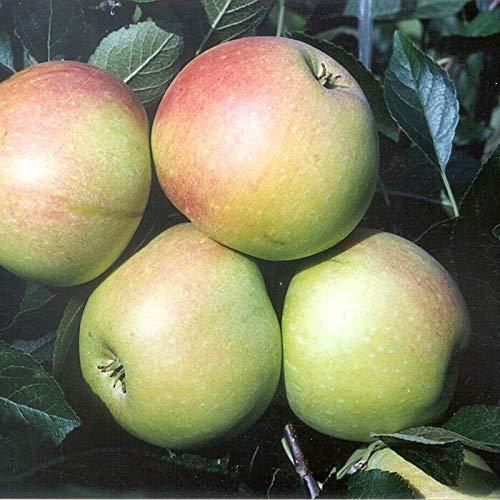 Müllers Grüner Garten Shop Gelber James Grieve saftig süß Sommerapfel Zwergapfelbaum 120-150 cm 7-10 Liter Topf Unterlage M26