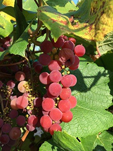Brilliant Wine Grape Vine - Plantable...