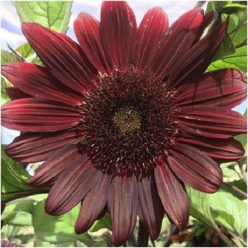 15 cerise chocolat Graines de tournesol Beaucoup Heliantus Jardin d'ornement Fleur de soleil