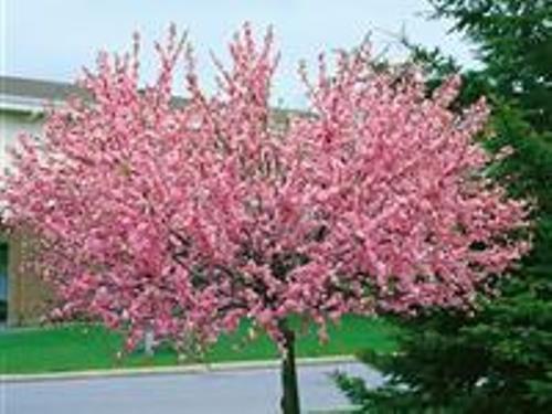 Mandelbaum, Prunus triloba, rosa Blüte, Höhe: 180-190 cm + Dünger