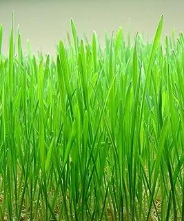 500 CAT GRASS WHEAT GRASS PET GRASS Wheatgrass Catgrass Triticum Aestivum Seeds