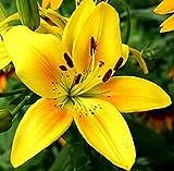 2Stücke Lilie Glühbirnen Asiatische Lilie Mehrjährige beeindruckende Blume Atemberaubend Duftende Zwiebeln