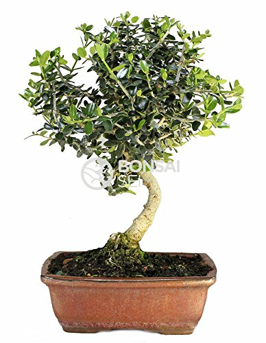 Bonsai - Acebuche, 7 Años (Bonsai Sei - Olea Europaea Sylvestris)