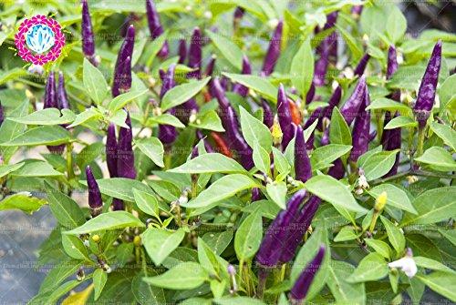 100 pcs violet Pepper, Carolina graines de poivre de piment Faucheur super chaud Graines Légumes Véritable Accueil Garend Pot Plante