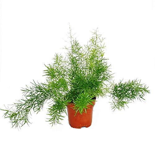 Zierspargel - Asparagus densiflorus sprengeri - Pflegeleichte Grünpflanze 12cm Topf