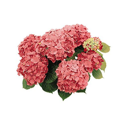 Smile P1767 Beautiful Tiles Decora tegels, ortensia roze, meerkleurig